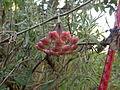 Hoya carnosa (3171300511).jpg