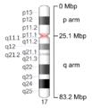 Human chromosome 17 - 550 bphs.png