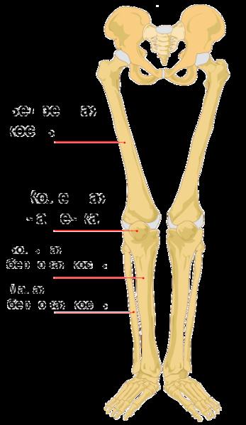 Human bones png - photo#26