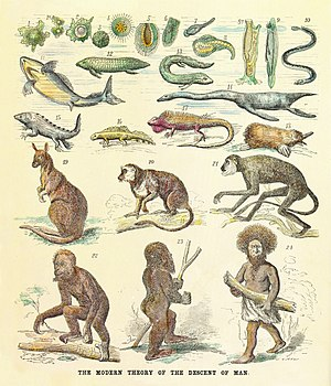 Great chain of being - The human pedigree back to amoeba shown as a reinterpreted chain of being with living and fossil animals. From a critique of Ernst Haeckel's theories, 1873.