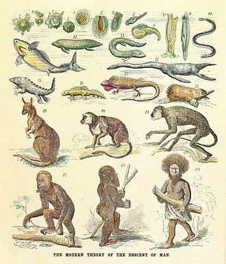 Great chain of being - The human pedigree recapitulating its phylogeny back to amoeba shown as a reinterpreted chain of being with living and fossil animals. From a critique of Ernst Haeckel's theories, 1873.