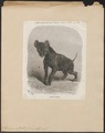 Hyaena striata - 1868 - Print - Iconographia Zoologica - Special Collections University of Amsterdam - UBA01 IZ22200071.tif