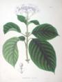 Hydrangea involucrata SZ63.png