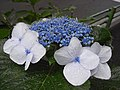 Hydrangea macrophylla Japon.jpg