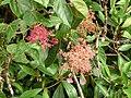 Hydrangea peruviana flowers Monteverde.jpg