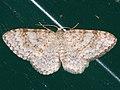 Hydrelia sylvata - Waved carpet - Пяденица ольховая (40242787434).jpg