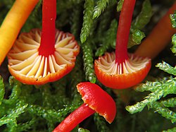 Hygrocybe insipida (Tricholomataceae), Meijendel, the Netherlands - 2.jpg