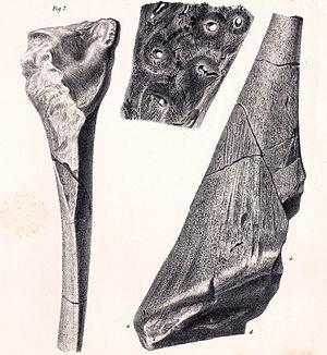 Hylaeosaurus - Dermal spine