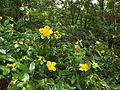 Hypericum frondosum Cedar glade st. johnswort.JPG