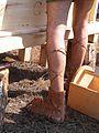 Iberian carpenter.jpg