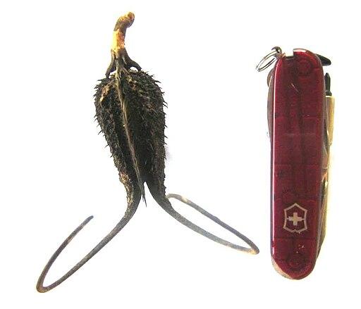 Ibicella lutea1