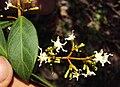 Ichnocarpus frutescens 23.JPG