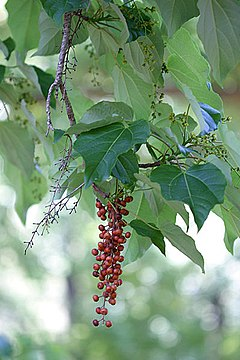 Idesia leaves fruit 041181.jpg