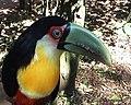 Iguacu toucan.jpg