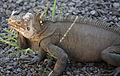 Iguana delicatissima at Batalie Beach a03.jpg