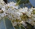 Ilex aquifolium RJB2.jpg