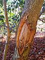Ilex aquifolium bark2 Hochrüti.jpg