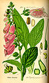 Illustration Digitalis purpurea0.jpg