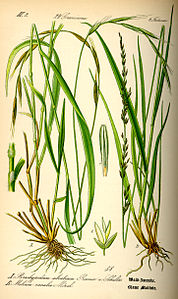 Illustration Molinia caerulea0.jpg
