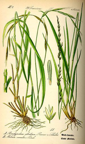 Molinia - Image: Illustration Molinia caerulea 0