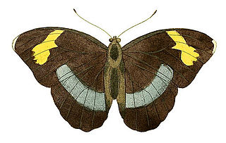 <i>Euphaedra eupalus</i> species of insect