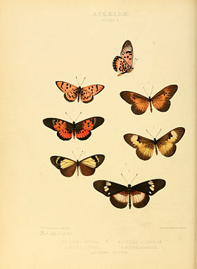 Illustrations of new species of exotic butterflies Acræa I.jpg