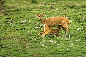 Indian hog deer - Female suckling fawn in Kaziranga, India