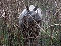Indian Rhino (2384150081).jpg