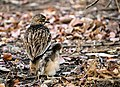 Indian Stone-curlew with chick, Sasan, Gir, India.jpg