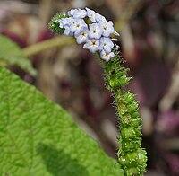Indian Turnsole (Heliotropium indicum) W IMG 9746.jpg
