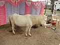 Indian dwarf horse-3-praba pet-salem-India.jpg