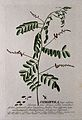 Indigo plant (Indigofera tinctoria L.); flowering stem with Wellcome V0042997EL.jpg