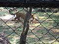Indira Gandhi Zoological Park, Tiger.jpg