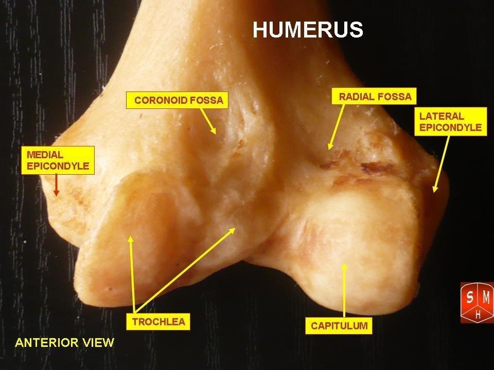 Inferior epiphysis of humerus