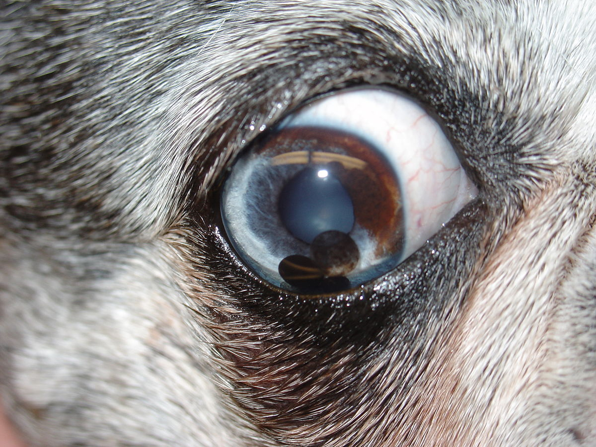 Dog Red Eye Socket