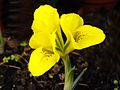 Iris danfordiae 6.jpg