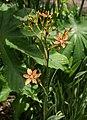 Iris domestica-1.jpg