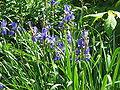 Iris sibirica03.jpg
