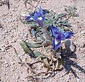 Iris sisyrinchium.jpg