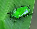 Ischiopsopha wallacei 3171.jpg