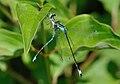 Ischnura elegans qtl9.jpg