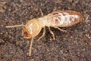 Termite - Macro image of a worker.