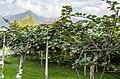 Italian Kiwi - panoramio.jpg