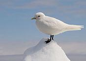 Ivory Gull Portrait