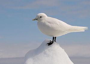 Ivory gull - Image: Ivory Gull Portrait