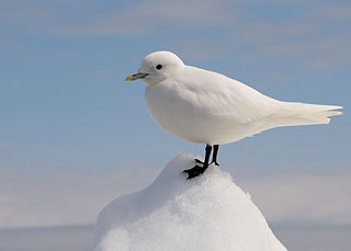 Ivory gull Species of bird