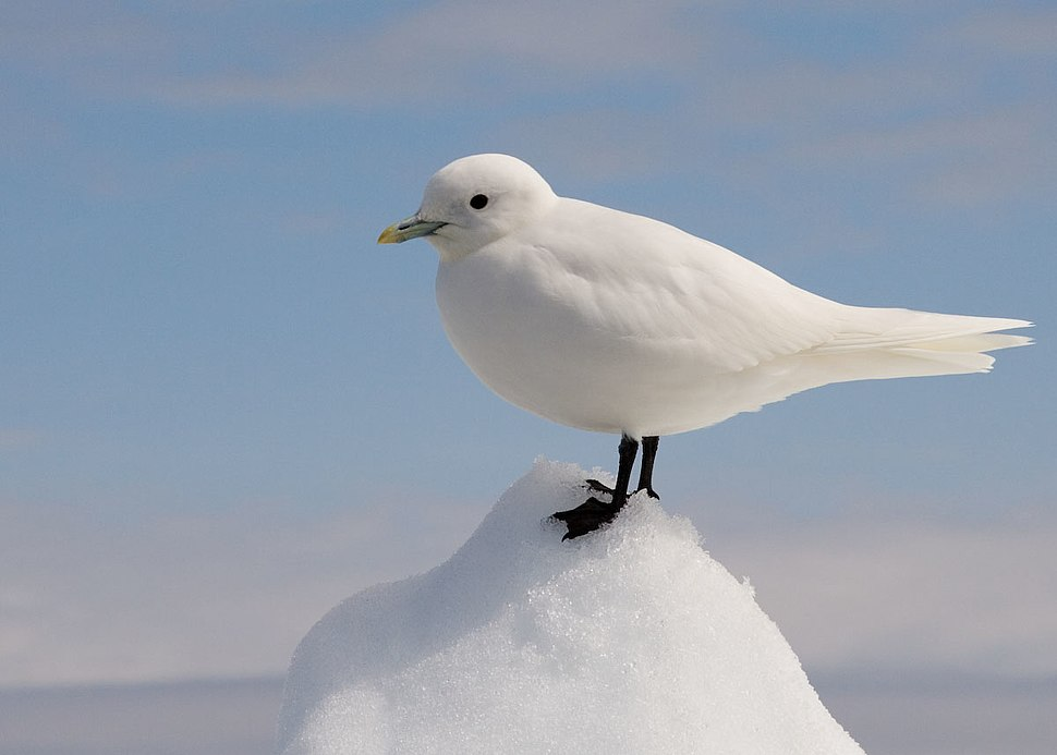Ivory Gull Portrait