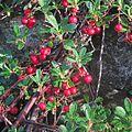 J20151229-0019—Arctostaphylos uva-ursi 'Point St George'—RPBG (24213500136).jpg
