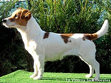 smooth jack russell terrier