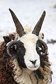 Jacob Sheep at the Cinci Zoo.jpg